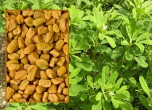 380_img1_fenugreek