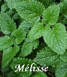 melisse_medium